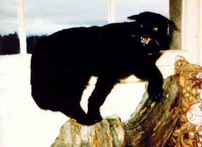 Kellas Cats, Scotching the Myth