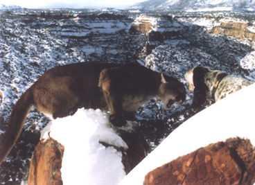 black puma in kentucky