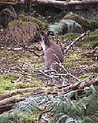 Red Necked Wallabies In Scotland